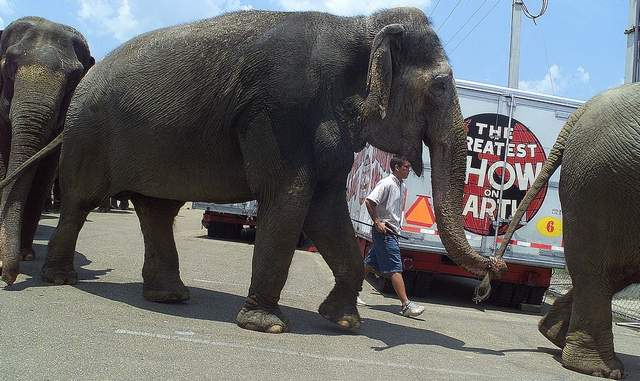 Circus Elephant Shot In Tupelo MS At Apparent Drive By Shooting