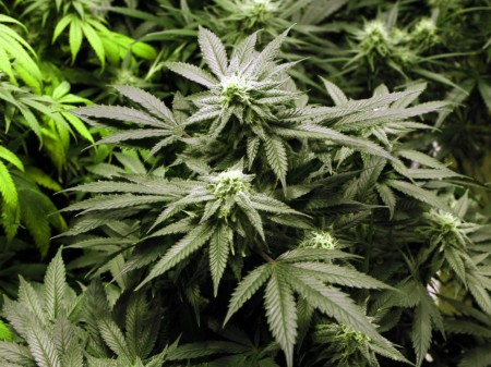 A recent study suggests marijuana could help prevent diabetes.