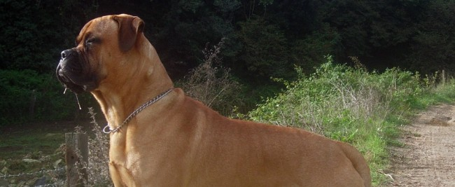 Oklahoma Tornado Survivor Mauled to Death by Bullmastiff