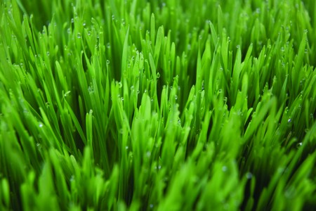 Wheatgrass the Powerful Life Force Generator