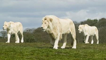 Endangered White-Lion of Africa really reincarnated Mast