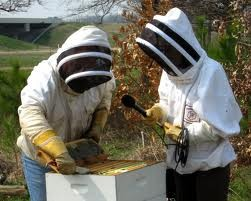 """Entomologist at the University of Washington want to breed """"resilient"""" bees to curb the extinction of the species."""