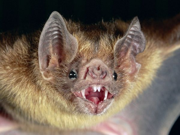common-vampire-bat_505_600x450