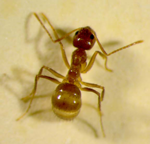 A view of the body of a 'crazy' ant.