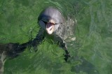 Deaths of Dolphins Elude Diagnosis