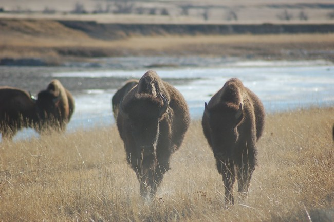 Buffalo Return to the Great Plains