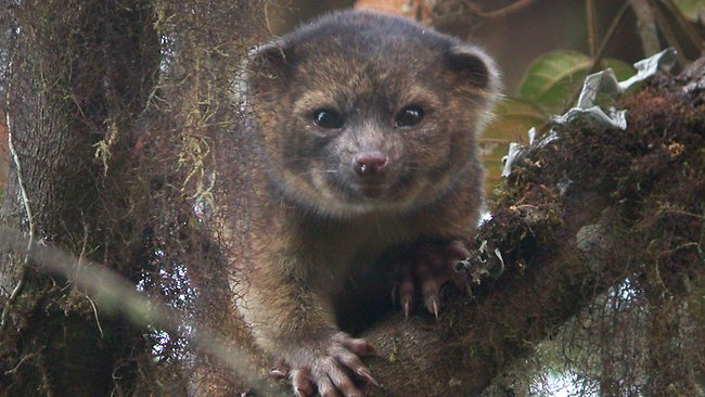 Olinguito New Carnivore Discovered