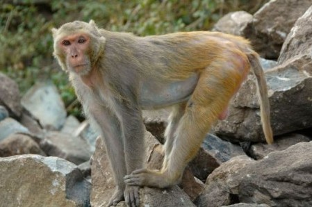 Brazil Tests New HIV Vaccine on Rhesus Monkeys