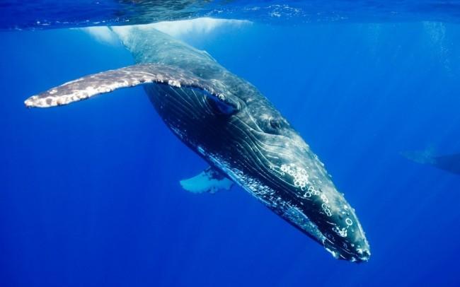 Blue whale ear wax shows beast's hormonal profile