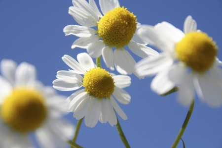 Chamomile_Medium