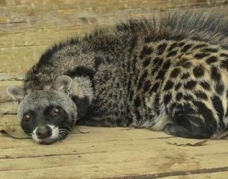 Relief! New Test Verifies Civet Coffee Contains Authentic Poop
