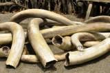 Endangered Species Extinction Propelled by Illegal Wildlife Trafficking