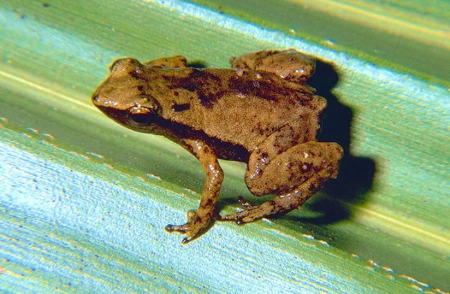 Tiny Frogs can Swallow Sound