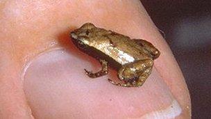 Gardiner's Seychelle frog one centimeter long.