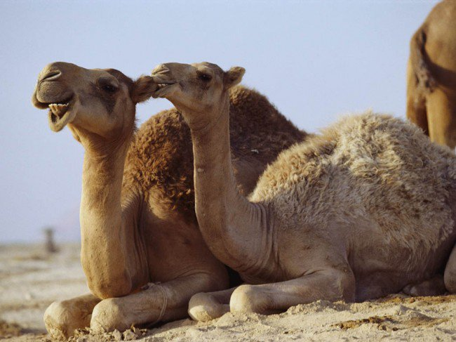 MERS virus may be spread by camels