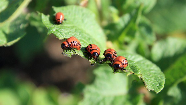 Pests spread 3 km to north and south