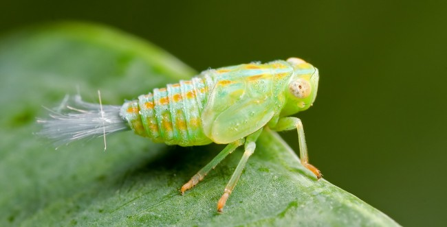 Planthopper uses biological gears for pouncing