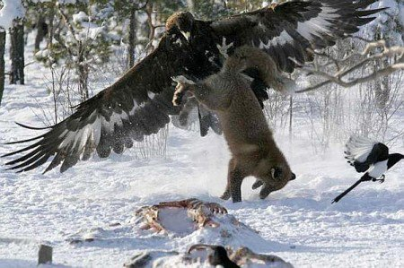 The sheer might of the golden eagle, snatching up its prey