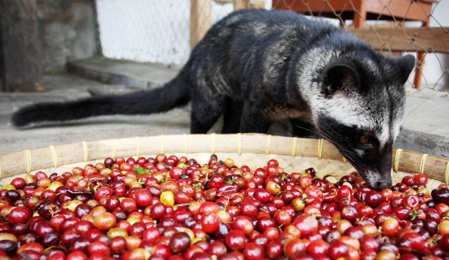 The Straight Poop About Civet Coffee