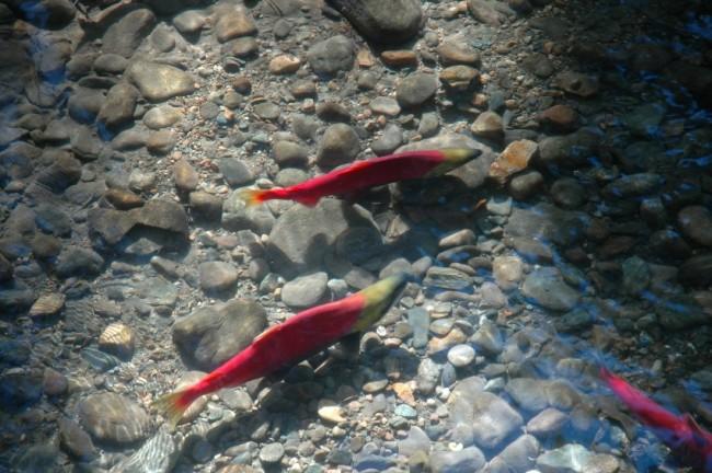 krill in water