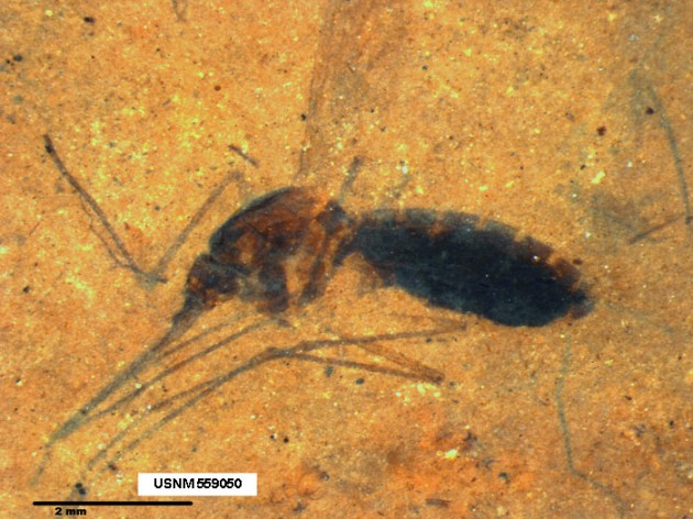 Blood Bloated Mosquito Fossil Unearthed in Montana