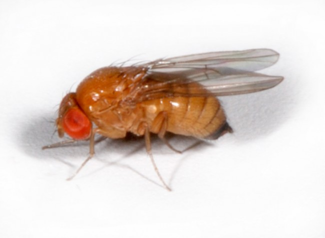 Tennessee Fruit Fly