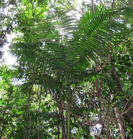 Euterpe precatoria is the most abundant tree in the Amazon