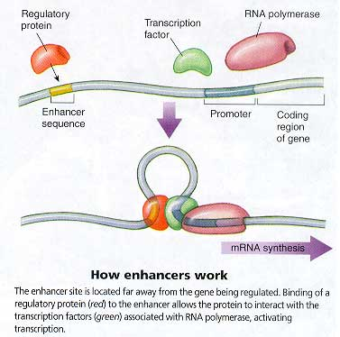 How transcription and enhancers work
