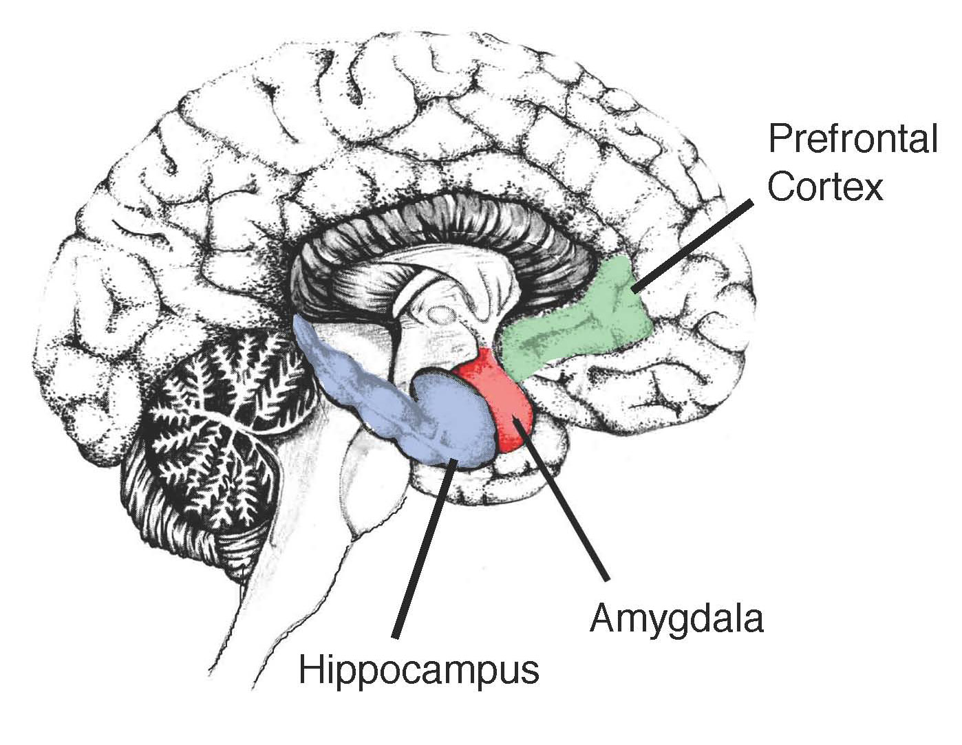 Image showing the Hippocampus in the human brain image showing the hippocampus in the human brain · guardian liberty