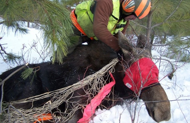 Moose are being tracked with collars and transmitters