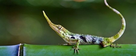 No Lie-Adorable Pinocchio Lizard Not Extinct After All (Video)