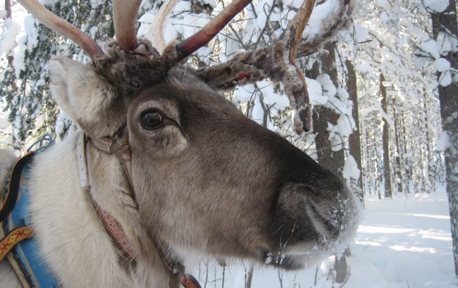 Reindeer eye color shifts to brilliant blue during winter