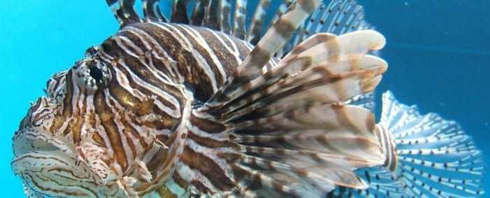 Lionfish Invasion Could Become Atlantic Ocean Disaster
