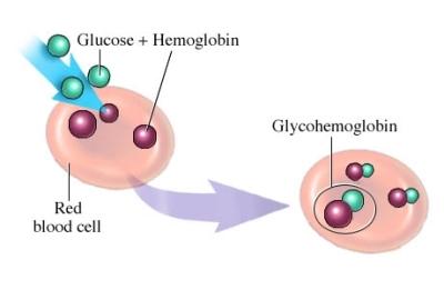 glucose combines with hemoglobin