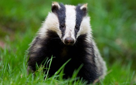 owen paterson badger cull