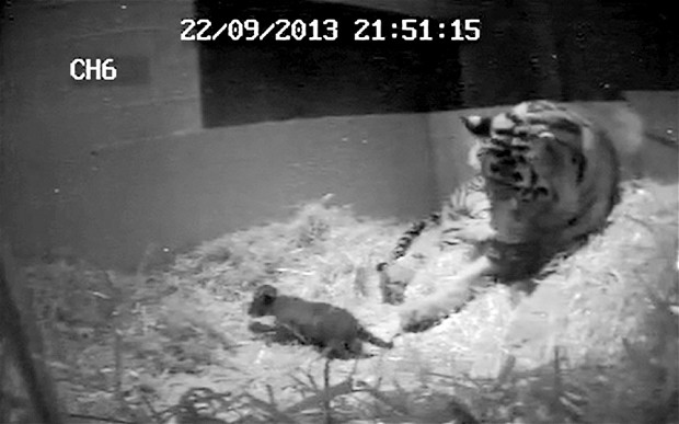 Tiger Cub Born at London Zoo, First in 17 Years