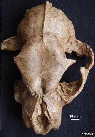 Big cat skull discovered in Tibet