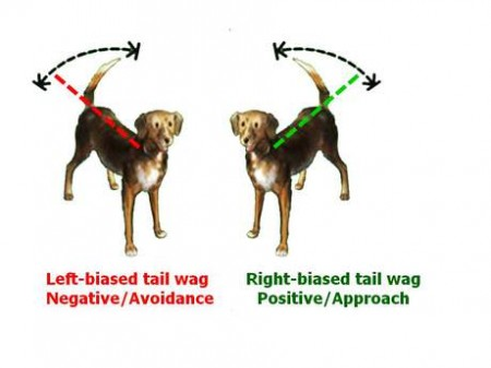 Dogs and what the wags of their tails mean