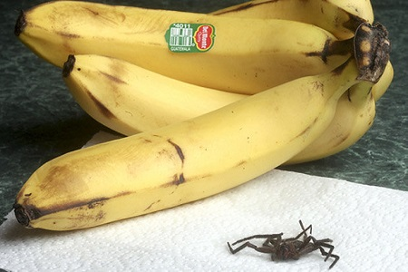 Have You Checked Your Bananas for Spiders? [Video]