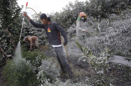 Crops around Sinabung are coated in ash