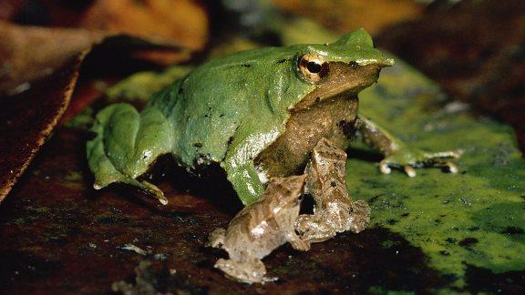 Charles Darwin Frog extinct