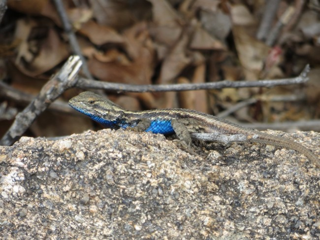 Eastern fence lizards lust less blue companions