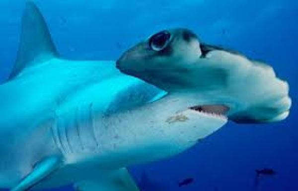 Carolina Hammerhead Shark