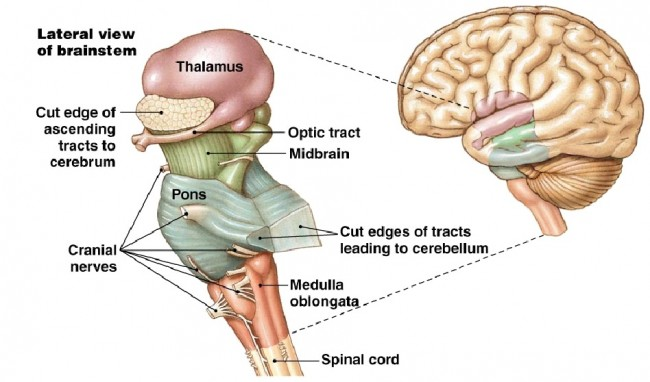 Lateral view of the brainstem