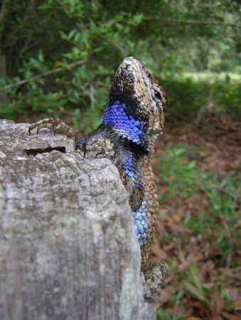 Male fence lizard with blue badges