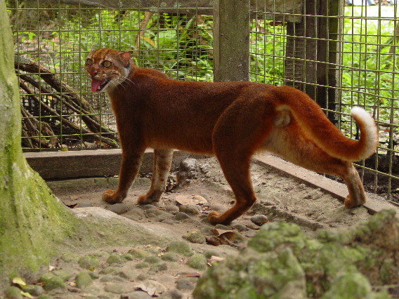 Mysterious Bay Cat Species Sighted in Borneo [Video]