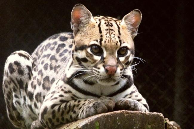 New southern tigrina wild cat species identified in Brazil