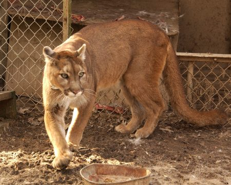 Oregon Attack Victim Killed by Sanctuary Cougar