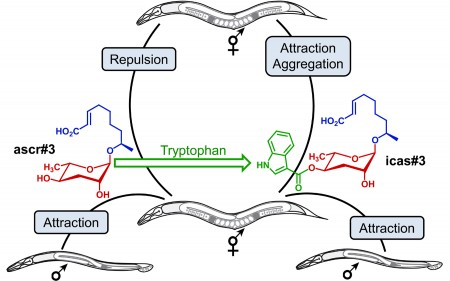 Pheromone signaling between male and female nematodes