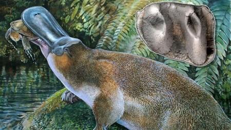 Platypus, Platypus-zilla